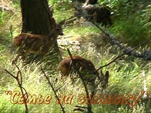 Косули в Крымском Природном Заповеднике